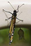 Un monarca recentemente covato immagini stock libere da diritti