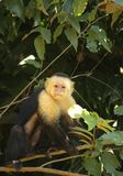 Un mono curioso pero confiado del capuchón se encaramó en una rama imagenes de archivo