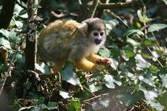Un mono de ardilla vive en un parque zoológico en Francia Imágenes de archivo libres de regalías