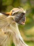 Un mono de Colobus rojo dado una sacudida eléctrica de Zanzibar Fotos de archivo