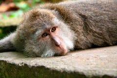 Un mono de macaque Imagenes de archivo