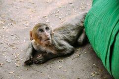 Un mono de Macaque joven que coloca cerca del soporte Popa Imágenes de archivo libres de regalías