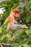 Un mono de probóscide de la madre Fotografía de archivo libre de regalías