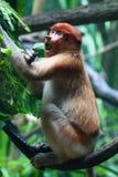 Un mono de probóscide femenino (Bekantan) imagen de archivo