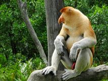 Un mono de probóscide raro en el mangle de la bahía de Labuk fotografía de archivo libre de regalías