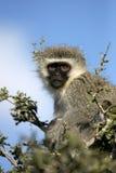 Un mono de vervet en un árbol Fotos de archivo