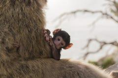 Un mono del berber del bebé con su madre en Gibraltar Imagenes de archivo
