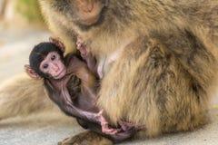 Un mono del berber del bebé con su madre en Gibraltar Foto de archivo