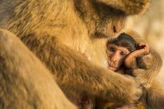 Un mono del berber del bebé con su madre en Gibraltar Foto de archivo libre de regalías