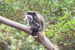 Un mono del tamarin Fotos de archivo libres de regalías