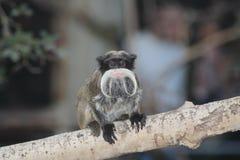 Un mono del tamarin Foto de archivo libre de regalías