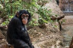 Un mono en parque zoológico - mono del chimpancé al aire libre Imagen de archivo libre de regalías
