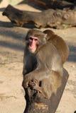 Un mono en un parque zoológico. Detrás de otro pequeño mono. Imágenes de archivo libres de regalías