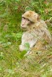 Un mono está buscando Fotografía de archivo