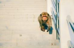 Un mono está caminando abajo de las escaleras imagen de archivo