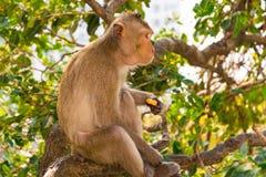 Un mono está comiendo habas está en el árbol foto de archivo