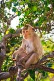 Un mono está comiendo habas está en el árbol fotografía de archivo libre de regalías
