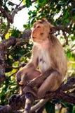 Un mono está comiendo habas relaxly está en el árbol fotografía de archivo libre de regalías
