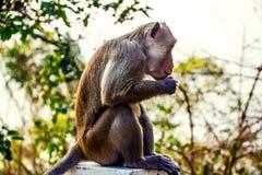 Un mono está comiendo la comida imagenes de archivo
