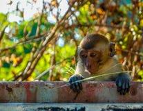 Un mono joven mira hacia fuera de detrás una cerca imagen de archivo libre de regalías