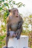 Un mono masculino se está sentando en un pilar de piedra foto de archivo libre de regalías