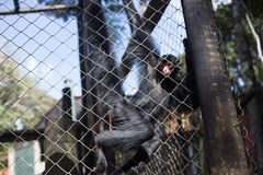 Un mono negro en la jaula imagen de archivo libre de regalías