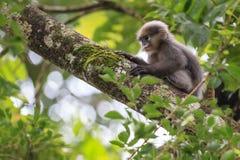 Un mono oscuro joven de la hoja Imágenes de archivo libres de regalías