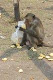 Un mono que come el maíz que dispersó en la tierra Fotografía de archivo libre de regalías