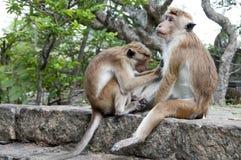 Un mono que limpia otro fotos de archivo libres de regalías