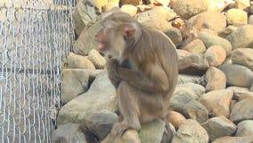 Un mono que se sienta en la jaula del parque zoológico almacen de video