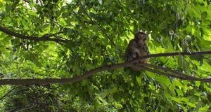 Un mono salvaje encaramado en un árbol Foto de archivo libre de regalías