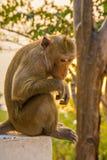 Un mono se está sentando en un pilar de piedra en sistema del sol fotos de archivo libres de regalías