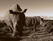 Un monocromio di due rinoceronti di bianco Fotografia Stock