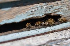 Un montón de abejas de trabajo cerca para arriba en la entrada de la colmena en colmenar Panal en un marco de madera Foto de archivo