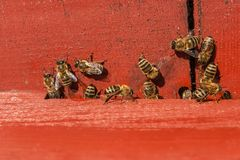 Un montón de abejas en la entrada de la colmena en colmenar Fotografía de archivo libre de regalías
