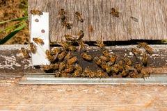 Un montón de abejas en la entrada de la colmena en colmenar Imágenes de archivo libres de regalías
