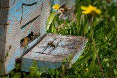 Un montón de abejas en la entrada de la colmena en colmenar Panal en un marco de madera, jardín verde en el fondo Fotos de archivo libres de regalías