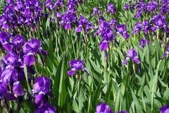 Un montón de flores violetas brillantes de iris Imagen de archivo