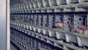 Un montón de gallinas contenidas en jaulas en una casa de las aves de corral almacen de metraje de vídeo