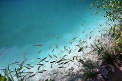 Un montón de pescados en agua clara imágenes de archivo libres de regalías