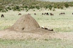 Un monticello della formica e una carcassa che si trovano nella savana Immagini Stock Libere da Diritti