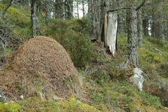 Un monticello enorme della collina della formica in un legno in Scozia Fotografia Stock Libera da Diritti