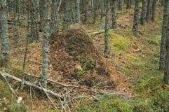 Un monticello enorme della collina della formica in un legno in Scozia Fotografie Stock Libere da Diritti