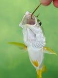 Un mordedor del carril de la Florida en un gancho de leva de pescados Foto de archivo libre de regalías