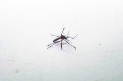 Un moustique Image libre de droits