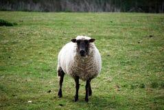 Un mouton Photos libres de droits