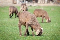 Un mouton avec de petits agneaux mignons sur le pré Image libre de droits