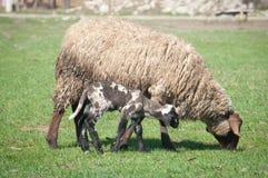 Un mouton avec de petits agneaux mignons sur le pré Photos stock