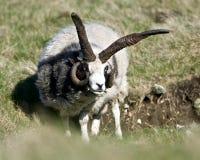 Un mouton avec les klaxons impairs Image stock