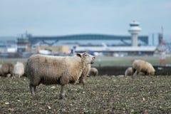 Un mouton bêle tout en frôlant sur la terre où on propose une nouvelle deuxième piste pour être construit à l'aéroport de Londres image stock